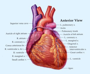 Heart_Anterior_View_copy[1]
